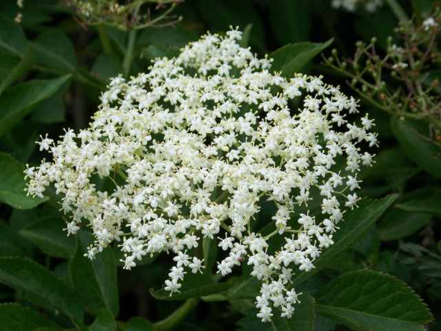 Elder flower (Sambucus nigra), Bishopstone