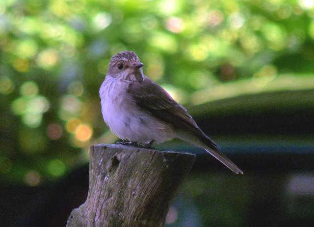 I spotted a spotted flycatcher
