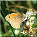 TG3006 : Meadow Brown (Maniola jurtina) : Week 25