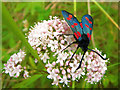 NJ5565 : Sandend: six-spot Burnet moth feeding among the dunes : Week 26