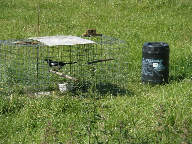 Magpie trap