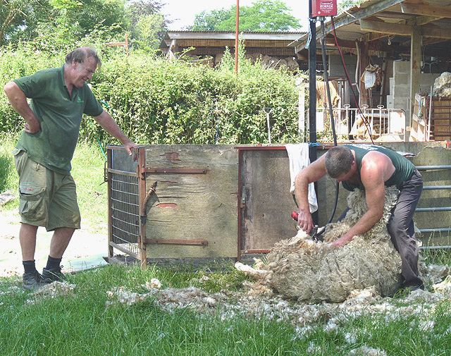 Sheep-shearing: the shepherd watches the shearer (2)