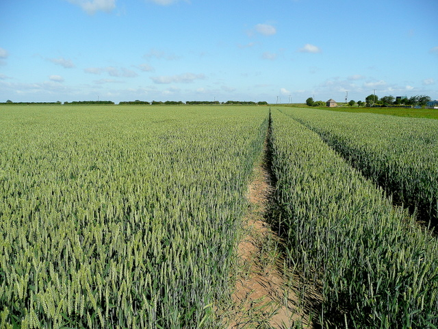 Wheat prairie near the Holbeach Sea Wall