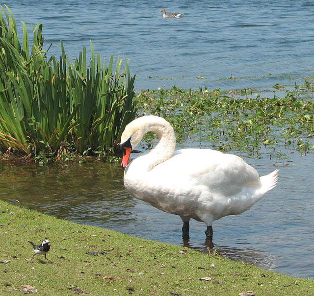 Swan in conversation with a Pied Wagtail (Motacilla alba)