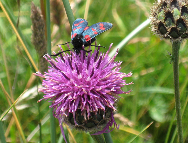Six-spot burnet moth on knapweed