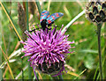 NO4302 : Six-spot burnet moth on knapweed by Lis Burke