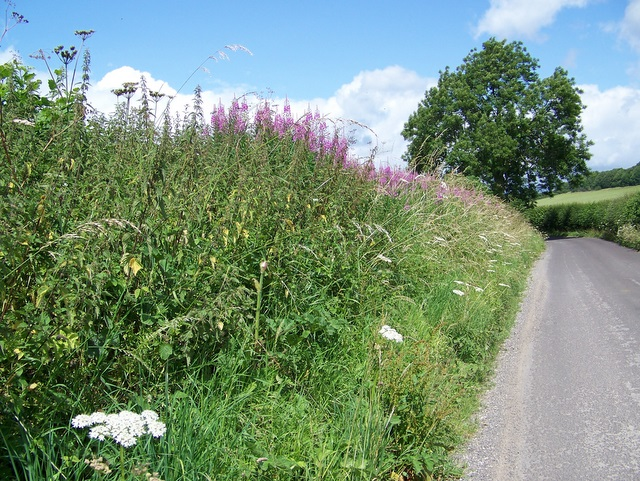 Rosebay Willow-herb near Maiden Bradley