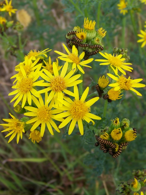 Ragwort and caterpillars, Croucheston