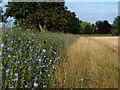 TL1542 : Cornflowers by Dennis simpson