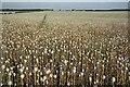 TF0461 : Opium fields : Week 28