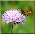 TL9491 : Large Skipper feeding on field scabious by Evelyn Simak