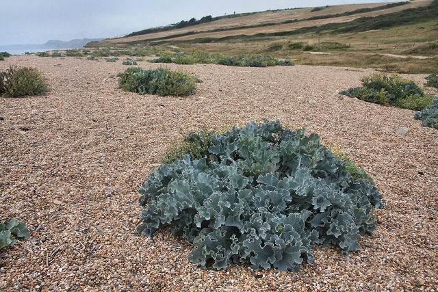 Sea kale (Crambe maritima) on Cogden Beach