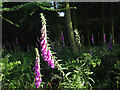 NT9727 : Foxgloves at the edge of a wood by Stephen Craven