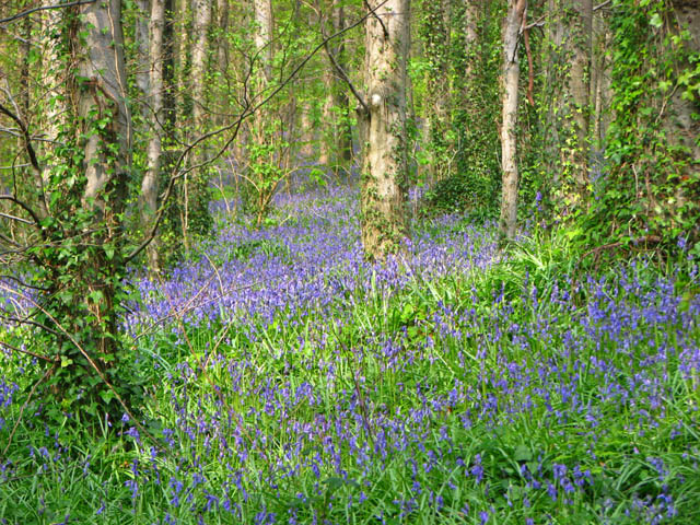 Narrow Water Bluebells