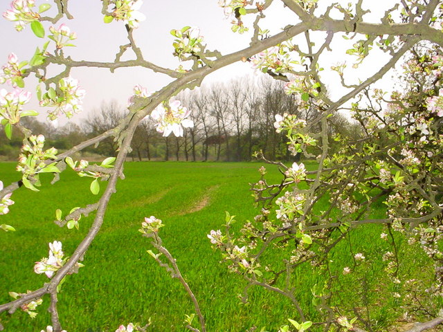 Apple Blossom & Fields