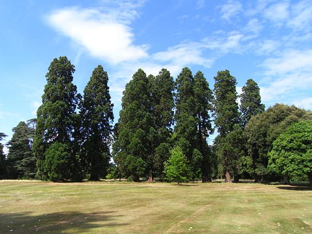 Wellingtonias, Stratfield Saye