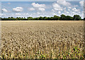 SZ3495 : Crop Ready for Harvest, north of Lisle Court : Week 31