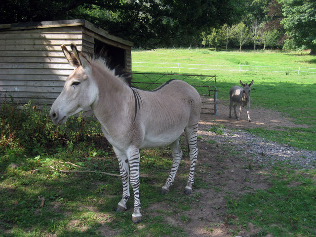 Adam the Zonkey / Zeedonk at Groombridge Place