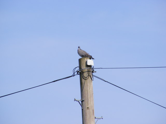 Pigeon on a Telephone Pole