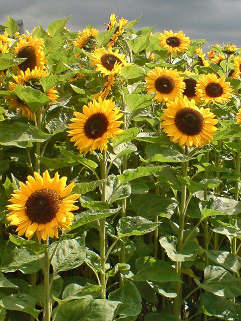 Scunflowers, Sunthorpe