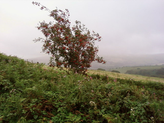 Mountain Ash at the edge of the forest