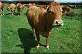 SP1731 : Cattle in a field near Bourton-on-the-Hill : Week 33