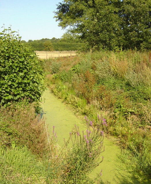 Purple Loosestrife and Ditch