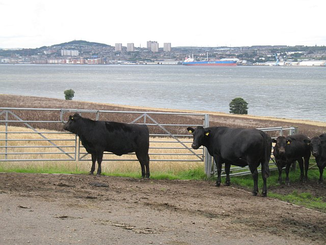 Cattle near Newport