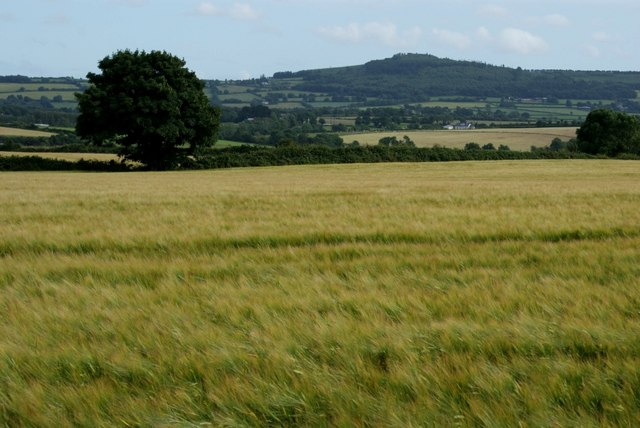 Barley field east of Camolin