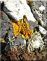SW9136 : Lichens and stonecrop on rocks on Nare Head by Rod Allday