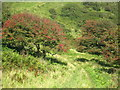 SW9237 : Hawthorn bushes by the coast path above Kiberick Cove by Rod Allday