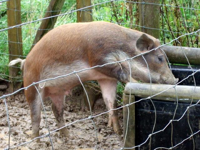 Farm Animals Drinking Water