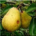 SO6424 : Ripe Williams pears : Week 36