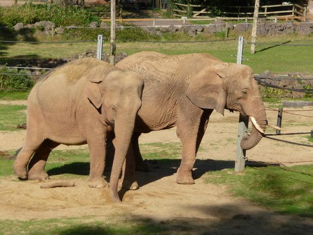 Huge elephant penis