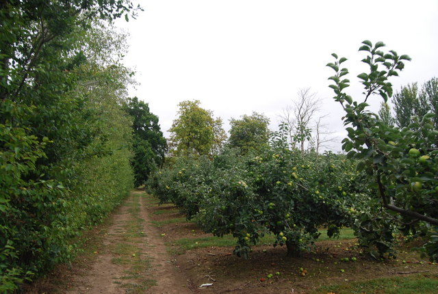 Apple Orchards by the Tunbridge Wells Circular Path