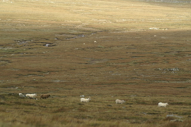 Line of sheep on the north flanks of Hill of Colvadale