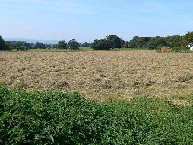 Cut silage drying in a field near Burton