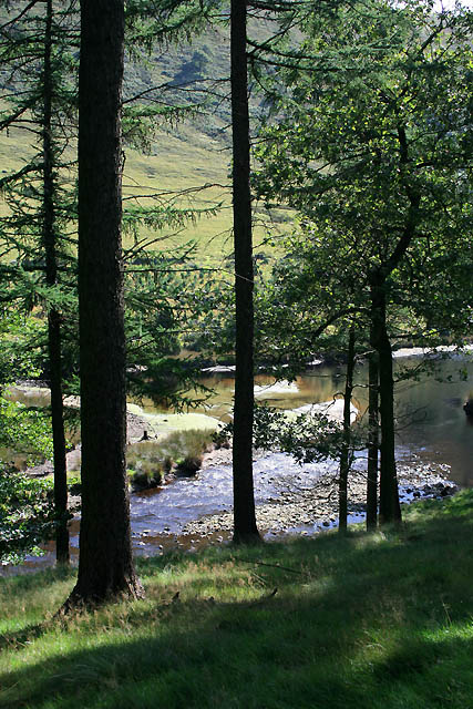 The River Derwent Viewed Through Pines