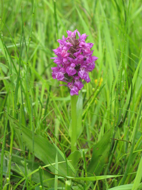 Orchid near Mohope Burn