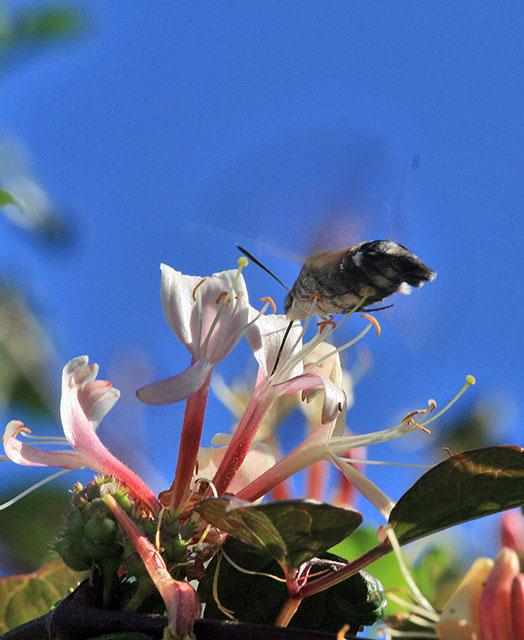 Hummingbird Hawk Moth and Honeysuckle