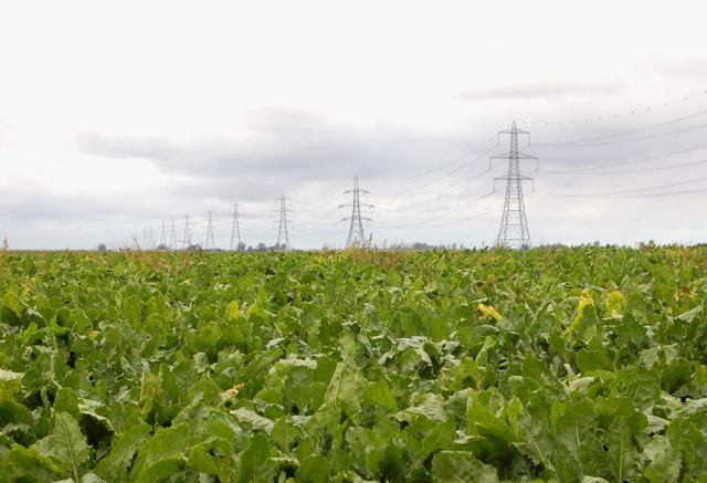 A field of sugar beet near Martins Farm