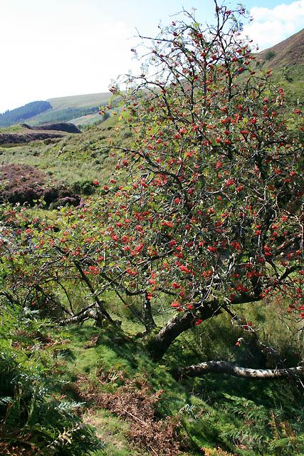 Fruiting Rowan Tree