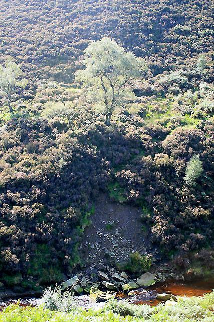 Birch in the Derwent Valley