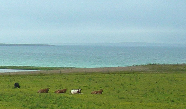 Cows resting at the east end of Lairo Water