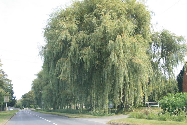 Willow trees beside the A4095
