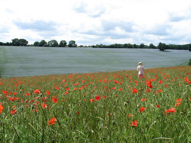 Picking Poppies near Little Gaddesden