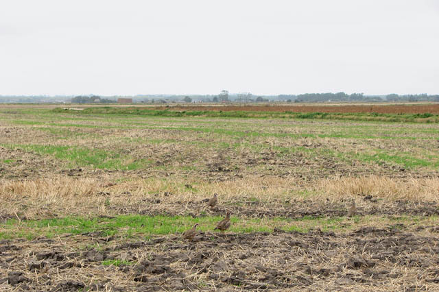 Partridges foraging in harvested field