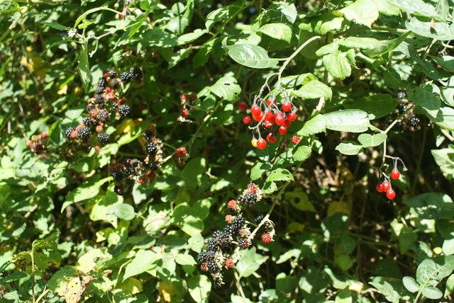 Berries in Burnham's Lane, Dorset