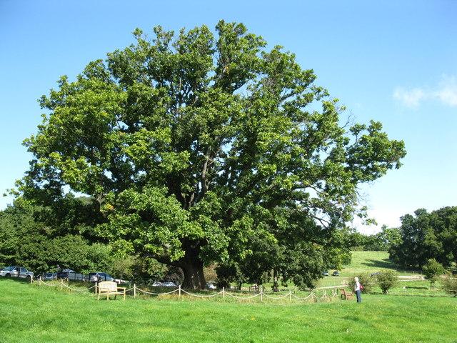 Oak at Dunster Castle