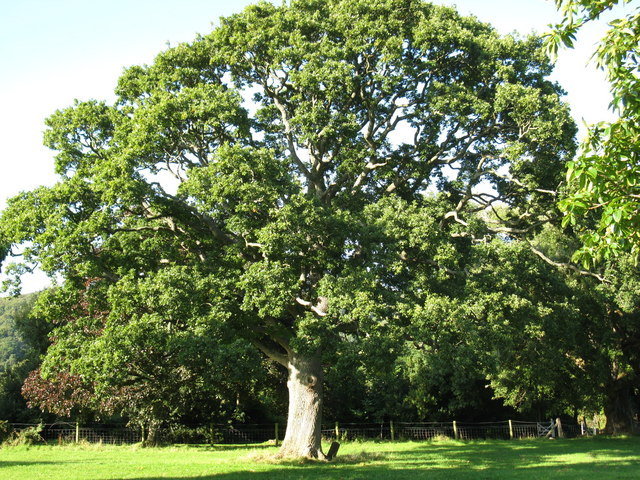 Oak tree planted by William Gladstone